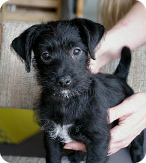 Jack Russell Terrier/Wirehaired Fox Terrier Mix Puppy for adoption in Sacramento, California - Juno