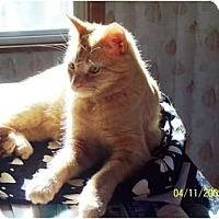 Domestic Shorthair Cat for adoption in Saint Clair Shores, Michigan - Lenny