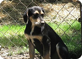 Beagle Mix Puppy for adoption in Bedminster, New Jersey - Brody