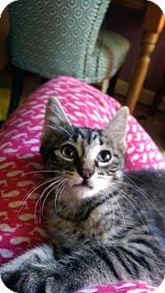 Domestic Shorthair Kitten for adoption in New Rochelle, New York - Nermle