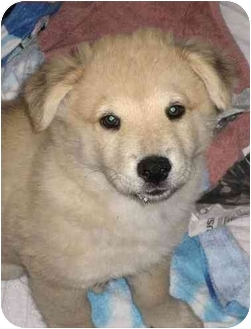 Australian Shepherd/Jindo Mix Puppy for adoption in Marina del Rey, California - Giles
