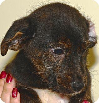 Hound (Unknown Type) Mix Puppy for adoption in Kalamazoo, Michigan - Yankee