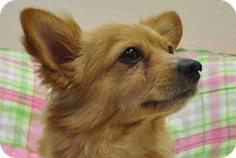 Corgi/Pomeranian Mix Dog for adoption in Tumwater, Washington - Buddy