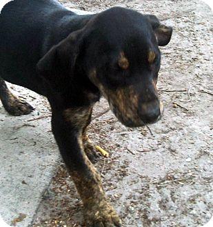 Labrador Retriever Mix Puppy for adoption in Okeechobee, Florida - King