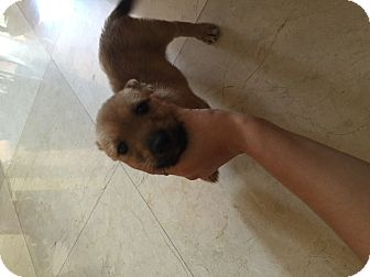 Cairn Terrier/Chihuahua Mix Puppy for adoption in Davie, Florida - Scooby