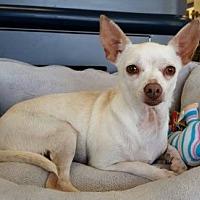 Adopt A Pet :: Lacy (GAPR/TN foster) - Brighton, TN
