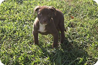 Labrador Retriever/Pit Bull Terrier Mix Puppy for adoption in Colonial Heights, Virginia - Hendrix