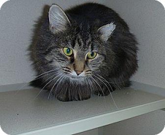 Domestic Mediumhair Cat for adoption in Hamburg, New York - Madeline