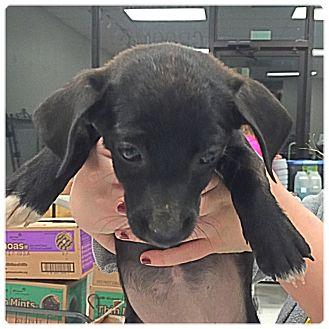 Dachshund Mix Puppy for adoption in Powder Springs, Georgia - Suzi