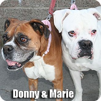 Boxer Dog for adoption in Encino, California - Marie