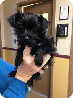 Maltese/Shih Tzu Mix Puppy for adoption in Dallas, Texas - Furrari