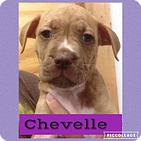 Adopt A Pet :: Chevelle - Woodward, OK