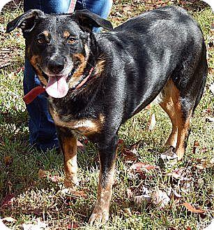 Rottweiler/Australian Shepherd Mix Dog for adoption in Burlington, Vermont - Andy(L)(60 lb) New Pics/Video