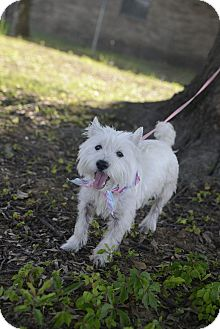 Westie, West Highland White Terrier Dog for adoption in Muldrow, Oklahoma - Layla