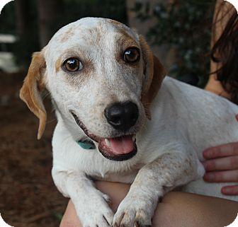 Dachshund/Beagle Mix Dog for adoption in Atlanta, Georgia - Derek