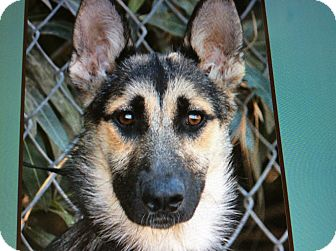 German Shepherd Dog Puppy for adoption in Los Angeles, California - TRACY VON TRIPSEES