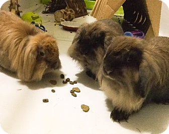 Lop, Holland Mix for adoption in Moneta, Virginia - Ainsley , Arwen and Donovan