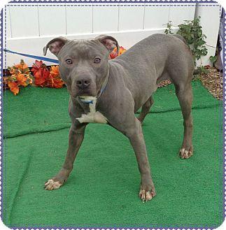 Pit Bull Terrier/American Staffordshire Terrier Mix Dog for adoption in Marietta, Georgia - JOCK - reclaimed