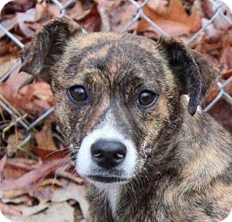 Mountain Cur Mix Puppy for adoption in Hagerstown, Maryland - Shelby