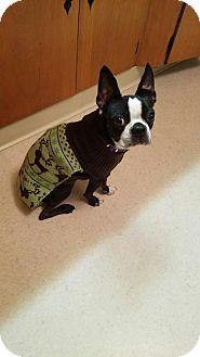Boston Terrier Mix Dog for adoption in Seville, Ohio - Bob