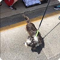 Adopt A Pet :: Poppy - Brick, NJ