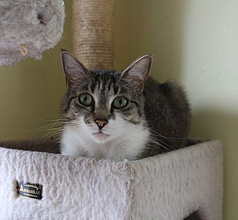 Domestic Shorthair Cat for adoption in Middletown, New York - Jade Too