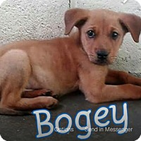 Adopt A Pet :: Bogey - Virginia Beach, VA