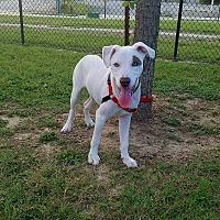 Adopt A Pet :: Lacy - Allentown, PA