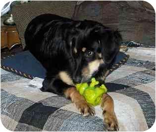 Saluki/Collie Mix Dog for adoption in Evansville, Indiana - Hadrian