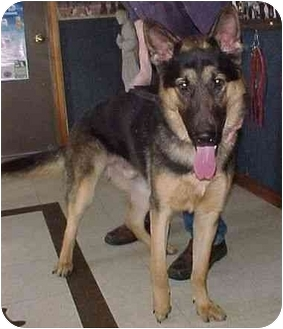 German Shepherd Dog Puppy for adoption in North Judson, Indiana - Bently