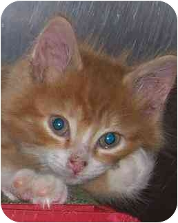 Domestic Longhair Kitten for adoption in Annapolis, Maryland - Iggy
