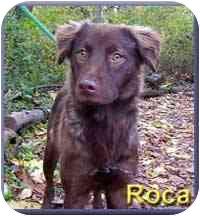 Retriever (Unknown Type) Mix Dog for adoption in Aldie, Virginia - Roca