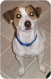 Jack Russell Terrier Dog for adoption in Thomasville, North Carolina - Charlie