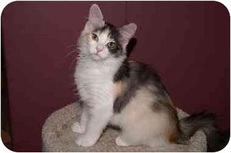 Maine Coon Kitten for adoption in Englewood, Florida - Kali