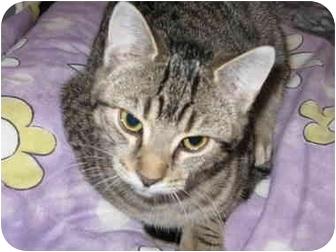 Domestic Shorthair Cat for adoption in Markham, Ontario - Fiona