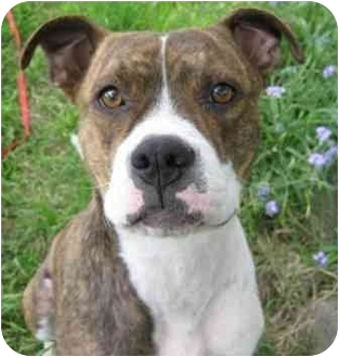 Boxer/American Staffordshire Terrier Mix Puppy for adoption in Gilbert, Arizona - Poppy