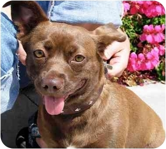 Corgi/Chihuahua Mix Dog for adoption in West Los Angeles, California - Ivy