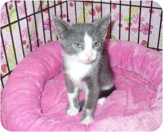 Domestic Shorthair Kitten for adoption in Colmar, Pennsylvania - Furdinand