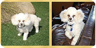 Poodle (Miniature) Mix Dog for adoption in Scottsdale, Arizona - Chase