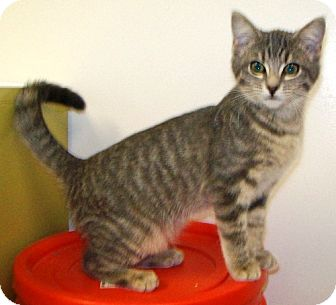 Domestic Shorthair Cat for adoption in Las Vegas, Nevada - Bahira