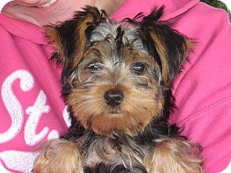 Yorkie, Yorkshire Terrier Puppy for adoption in Salem, New Hampshire - Sammy