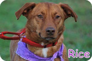 Carolina Dog Mix Dog for adoption in Georgetown, South Carolina - Rice