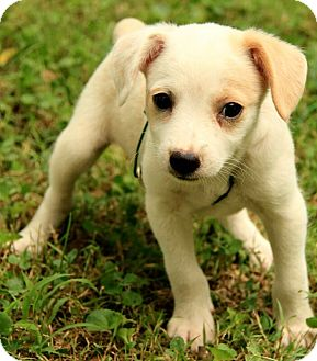 Australian Cattle Dog Mix Puppy for adoption in Washington, D.C. - Prescott