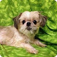 Adopt A Pet :: Yum Yum - Houston, TX