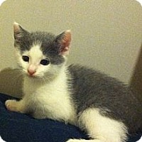 Adopt A Pet :: Fievel - Temple, PA