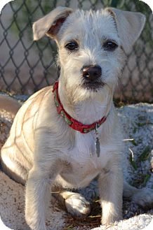 Terrier (Unknown Type, Small) Mix Puppy for adoption in Simi Valley, California - Dusty