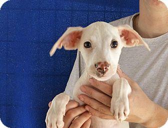 Beagle/Corgi Mix Puppy for adoption in Oviedo, Florida - Nell