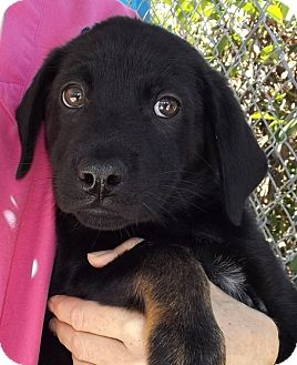 Rottweiler/Shepherd (Unknown Type) Mix Puppy for adoption in Grants Pass, Oregon - Lilly