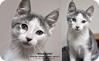 Domestic Shorthair Kitten for adoption in Ortonville, Michigan - Wishbone