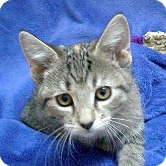 Domestic Shorthair Kitten for adoption in Columbia, Illinois - Abbey